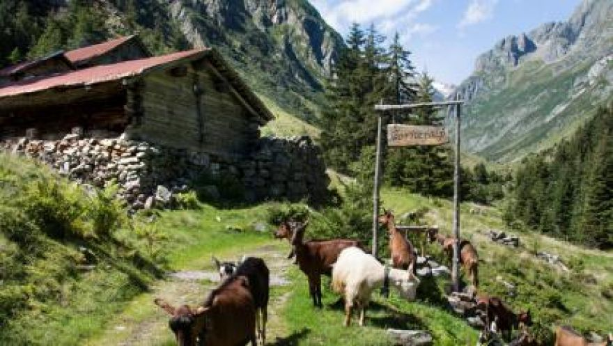 Geführte Bergwanderung Gorneren mit Käsedegustation